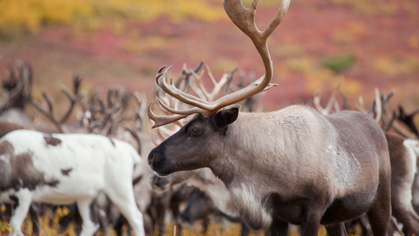 <h3>A DIZZYING ARRAY OF WILDLIFE</h3><h5>More than 200,000 Porcupine caribou migrate to the Arctic coastal plain to give birth.</h5>
